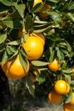navelapelsiner arkivbild