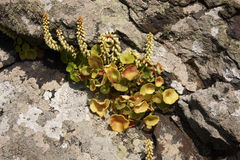 Navelwort. A Navelwort,Umbilicus rupestris,growing on a stone wall on Skomer island Royalty Free Stock Photos