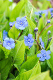 Navelwort Omphalodes verna Moench Stock Photo
