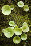 Navelwort (Umbilicus rupestris) Royalty Free Stock Photography