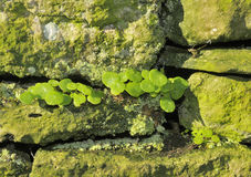 Navelwort. Umbilicus rupestris Royalty Free Stock Image