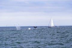 Navigação isolada do iate no Oceano Atlântico azul perto de Monterey, Califórnia Imagens de Stock Royalty Free