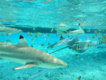 Navigando usando una presa d'aria con gli squali e gli stingrays tropicali fotografie stock libere da diritti