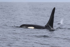 Navigation masculine d'orque parmi des vagues d'un nuageux Photos libres de droits