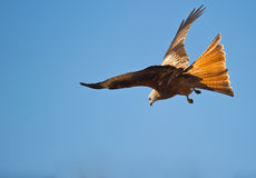 The navigation of a Red Kite Royalty Free Stock Images