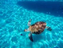 Naviguer au schnorchel avec des tortues Image stock