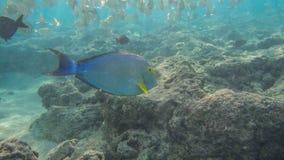 Naviguer au schnorchel avec les poissons tropicaux Photo stock