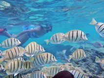 Naviguer au schnorchel avec les poissons tropicaux Photo libre de droits