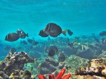 Naviguer au schnorchel avec les poissons tropicaux Image libre de droits