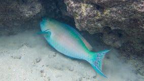 Naviguer au schnorchel avec les poissons tropicaux Photos libres de droits
