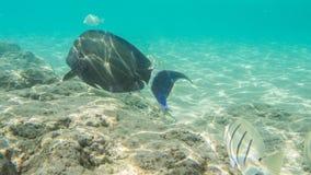 Naviguer au schnorchel avec les poissons tropicaux Images libres de droits
