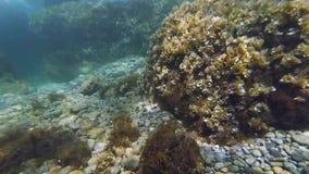 Naviguer au schnorchel en eau peu profonde avec de beaux poissons et algues banque de vidéos