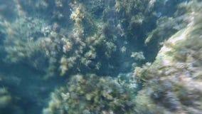 Naviguer au schnorchel en mer parmi les récifs avec des algues et des poissons et des méduses dans peu profond banque de vidéos