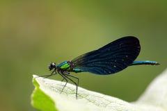 Navy Blue Dragonfly on Leaf Stock Photo