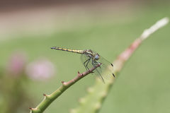 Navy Dropwing Trithemis furva Resting on a Plant Stock Images