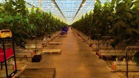 Nawa wśrodku nowożytny szklarniany pełnego rośliny zbiory wideo