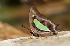 nawab общего бабочки Стоковая Фотография RF