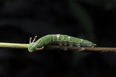 Nawab Caterpillar Stockfoto