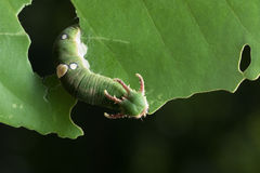 Nawab Caterpillar Stockfotos