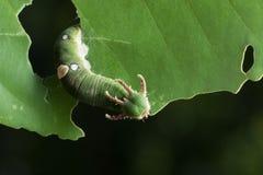 Nawab Caterpillar Stock Photos
