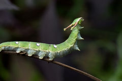 Nawab Catterpillar butterfly Stock Photography