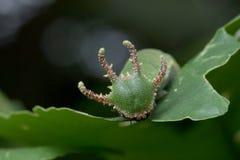 Nawab Catterpillar motyl Zdjęcia Royalty Free