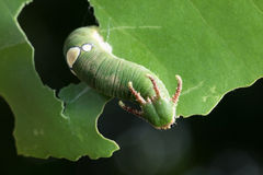 Nawab Catterpillar motyl Obraz Stock
