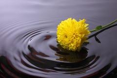 Nawadnia fala od Calendula kwiatu Obrazy Stock