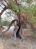 nawiedzony drzewo Obrazy Royalty Free