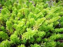 Nawierzchniowa roślina Fotografia Stock