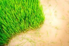 Nawierzchniowa trawa Obrazy Stock