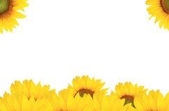 Nawierzchniowy słonecznik Zdjęcia Royalty Free