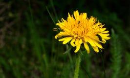Nawożący żółty kwiat zdjęcia royalty free