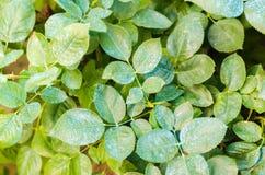 Nawożący dla róż, drzewa, taktuje rośliny od szkodliwych insektów, ciekły karmienie, Używają ręki natryskownicę z pestycydami w o zdjęcia stock