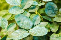 Nawożący dla róż, drzewa, taktuje rośliny od szkodliwych insektów, ciekły karmienie, Używają ręki natryskownicę z pestycydami w o obrazy stock