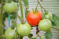 Nawożący pomidory zdjęcie stock