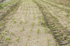 Nawożę kultywował pole, nawożącego zielonego soczewicy pole, użyźniacz i rolnictwo, Zdjęcia Stock