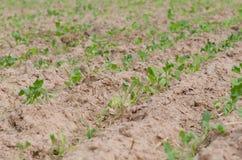 Nawracający rolniczy akry są zasadzającym tytoniem OT podlewanie Zdjęcia Stock