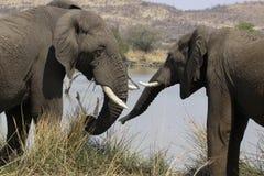 Nawwwhhhhh! No chcę dziewczyny Afrykański krzaka słoń, Lo Obraz Royalty Free