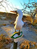 Nazca boobie. Sign bird wildlife Galapagos Stock Photo
