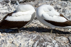Nazca Boobies. In the Galapagos Islands stock photo
