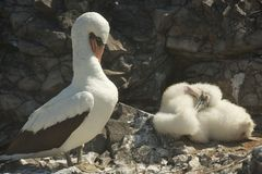 Nazca Boobies and the Baby Booby Royalty Free Stock Photos