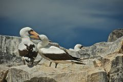 Nazca Boobies Mating in Galapagos Islands Royalty Free Stock Photography