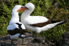 Free Nazca Boobies (Sula Granti) Preening Each Other Royalty Free Stock Photography - 75554767