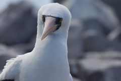 Nazca Booby Stock Photo