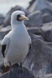 Nazca Booby. A Nazca Booby in the Galapagos Islands Stock Photos