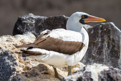 Nazca Booby. In the wild in the Galapagos Islands stock images