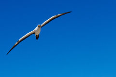 Nazca Booby. Soaring out of a deep blue sky royalty free stock photography