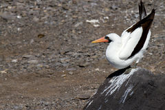 Nazca Booby. Pooping in the Galapagos Islands royalty free stock photos