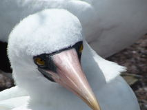 Nazca Booby. An Endemic Bird in the Galapagos Islands royalty free stock image